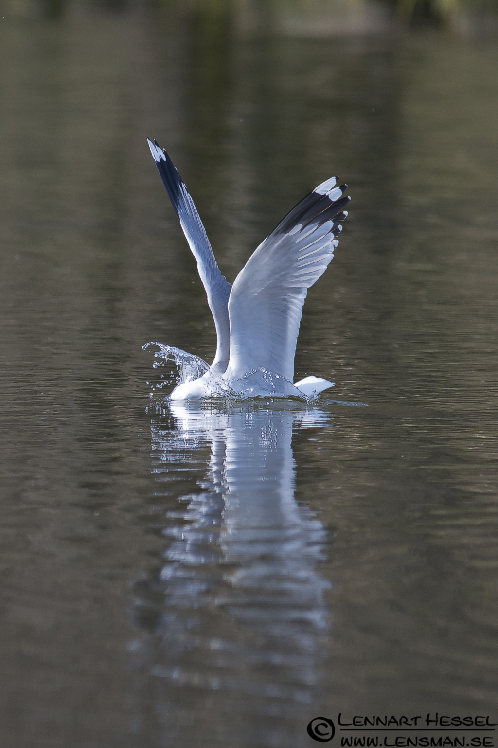 Common Gull in Slottskogen, Gothenburg practice