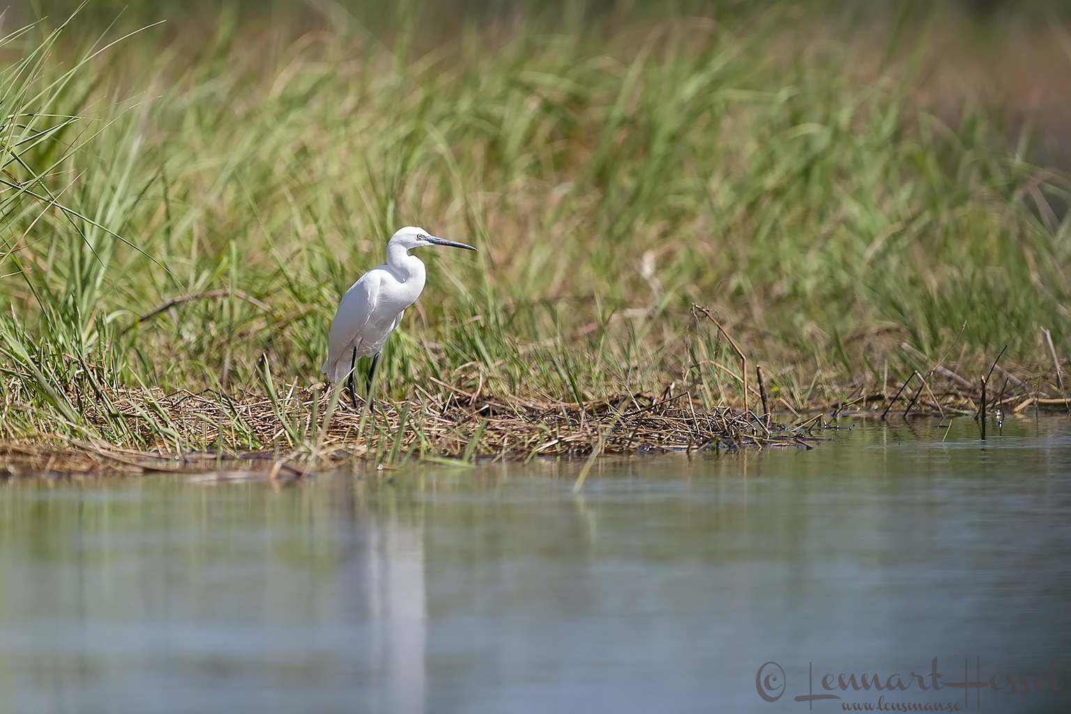 Little Egret in the Okavango Delta, Botswana