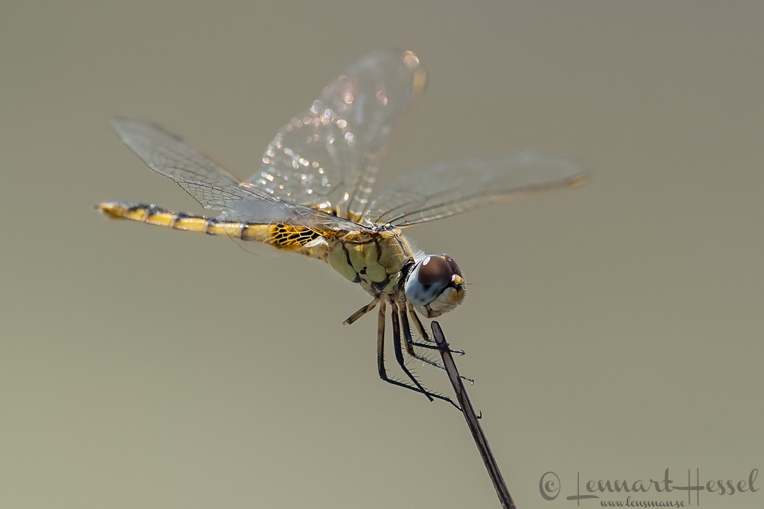 Yellow Dragonfly in the Okavango Delta, Botswana