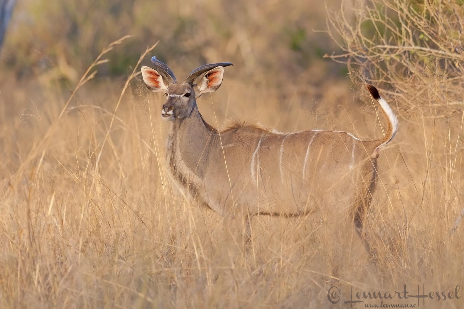 Kudu in Moremi Game Reserve, Botswana
