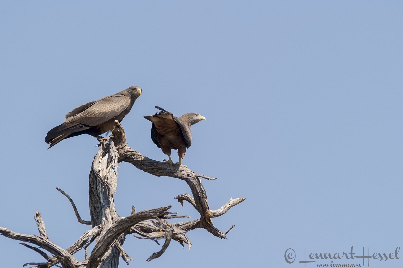 Yellow-billed Kite in Moremi Game Reserve, Botswana