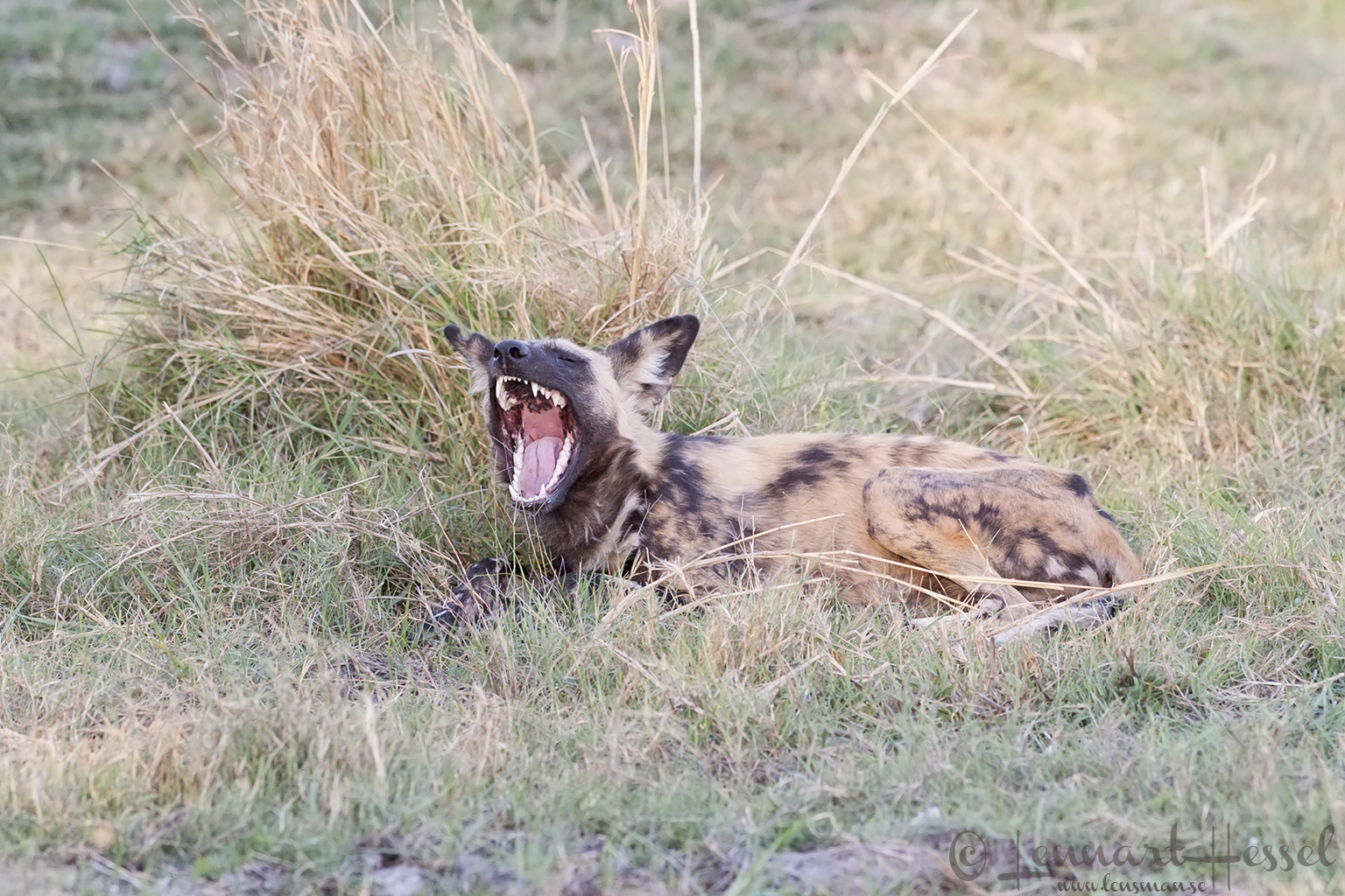 African Wild Dog in Moremi Game Reserve, Botswana