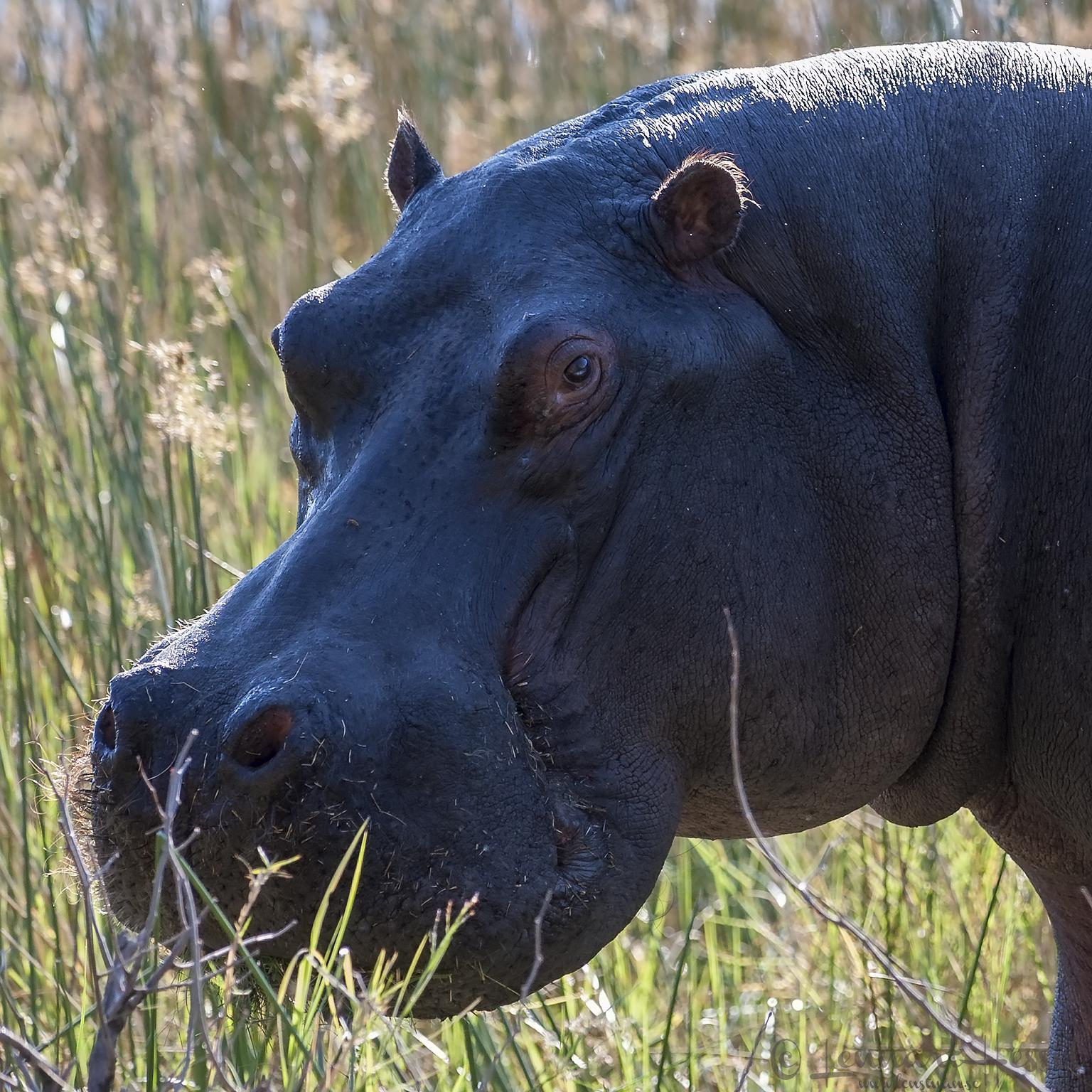 Hippopotamus in Moremi Game Reserve, Botswana