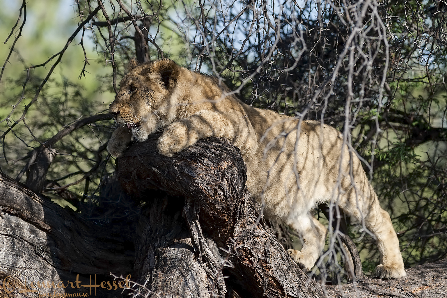 Lion cub in Moremi Game Reserve, Botswana