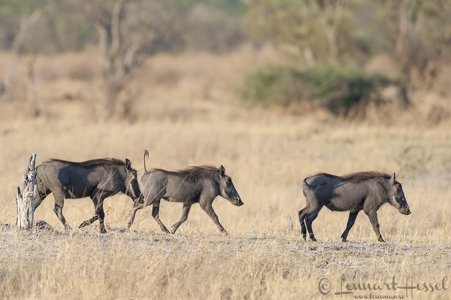 Pumbas in Moremi Game Reserve, Botswana