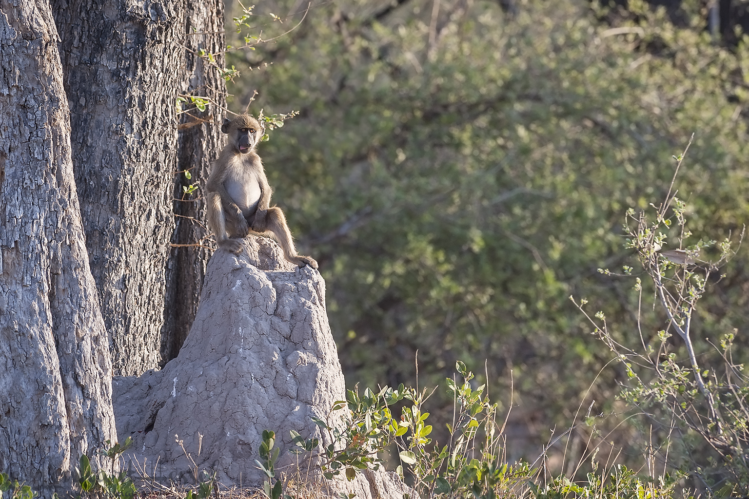 Chacma Baboon in Moremi Game Reserve, Botswana