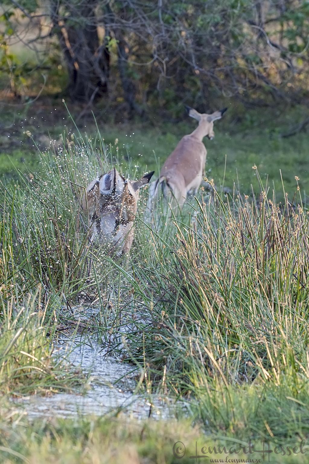 Impalas in Moremi Game Reserve, Botswana