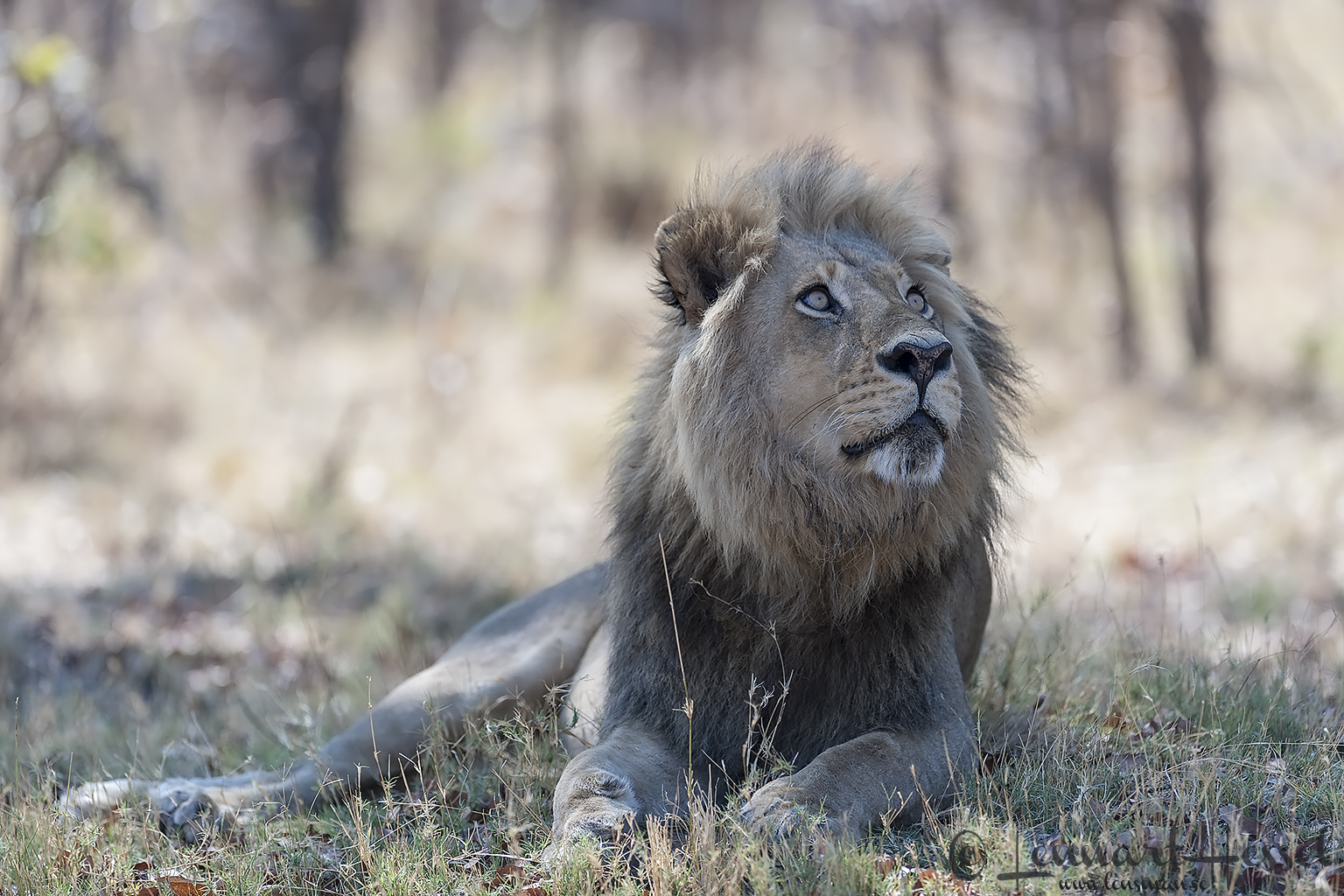 Lion in Moremi Game Reserve, Botswana - animal - Mazda