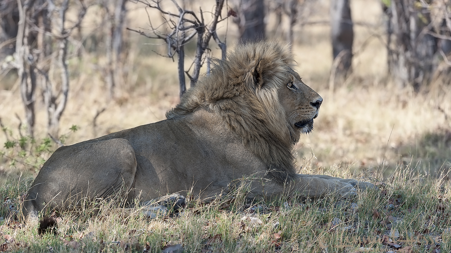 Lion in Moremi Game Reserve, Botswana