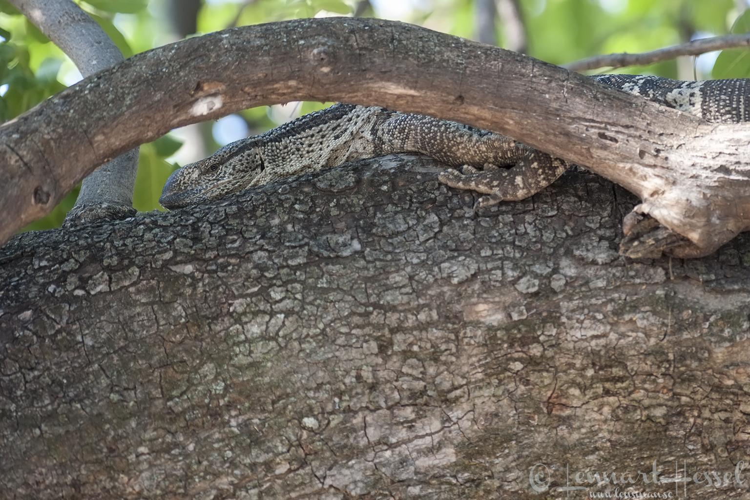 Rock Monitor in Moremi Game Reserve, Botswana