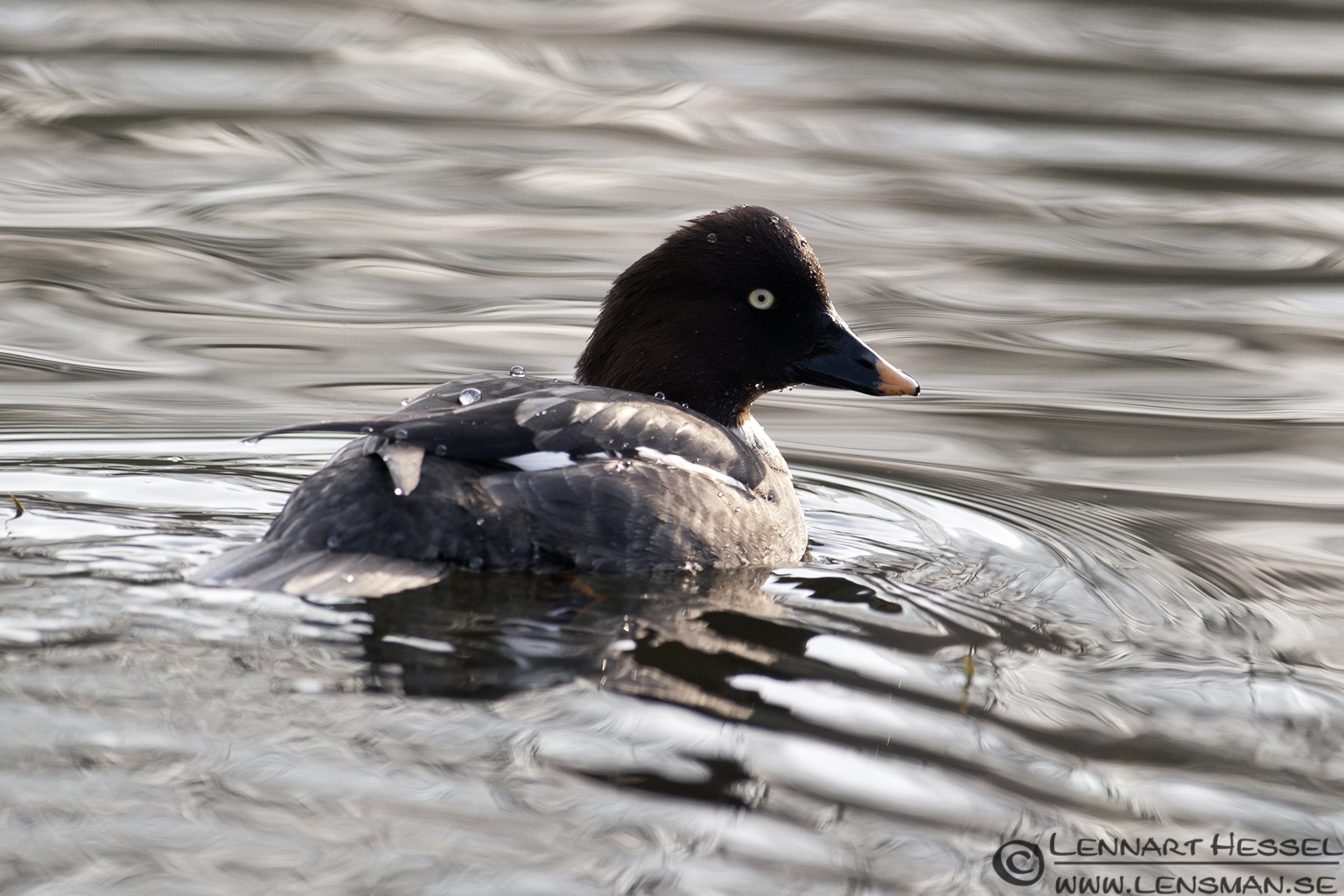 Common Goldeneye in Slottskogen, Gothenburg