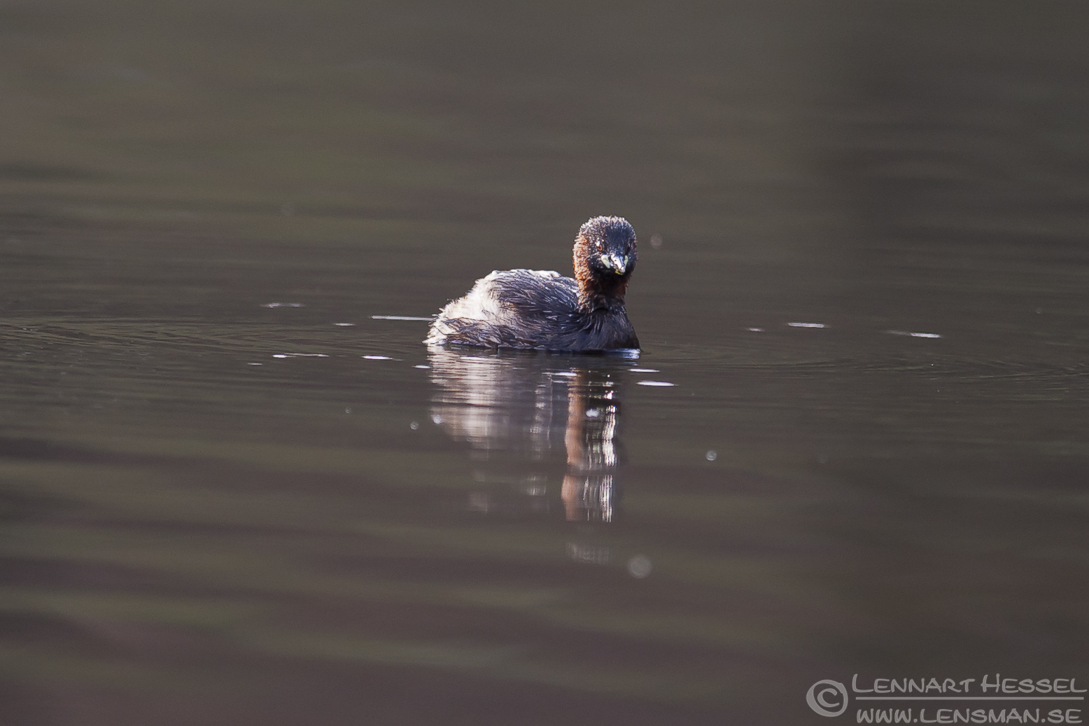 Little Grebe in Slottskogen, Gothenburg