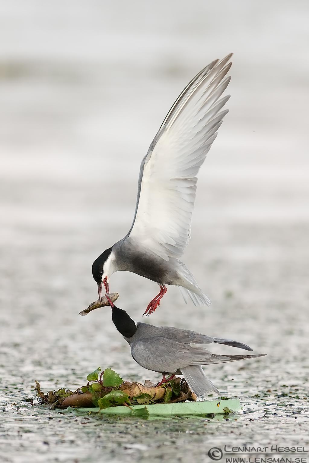 Whiskered Tern couple, wild bird