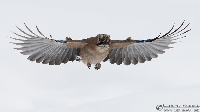 Eurasian Jay, National Geographic wild bird
