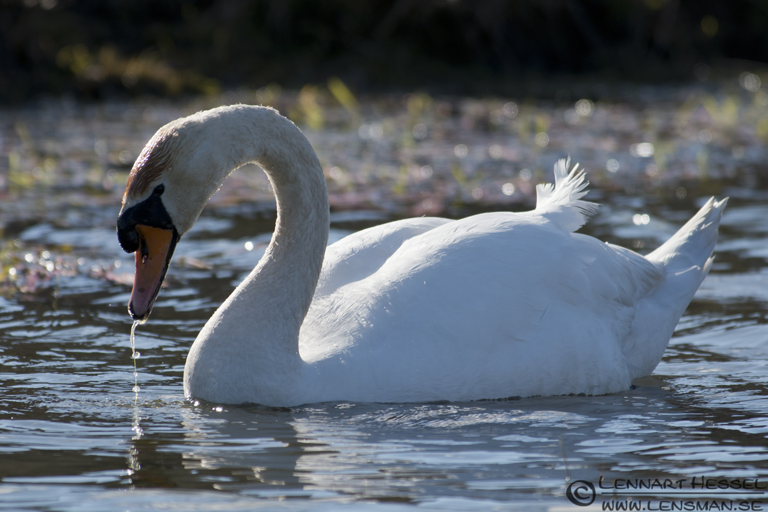 Mute Swan at Hökällan, Gothenburg nikon d800