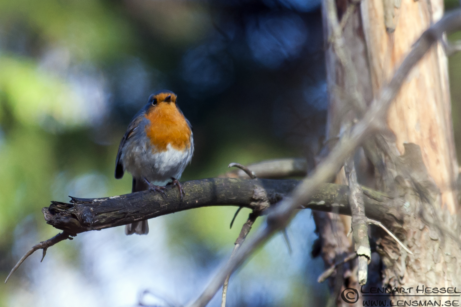 European Robin confirmation