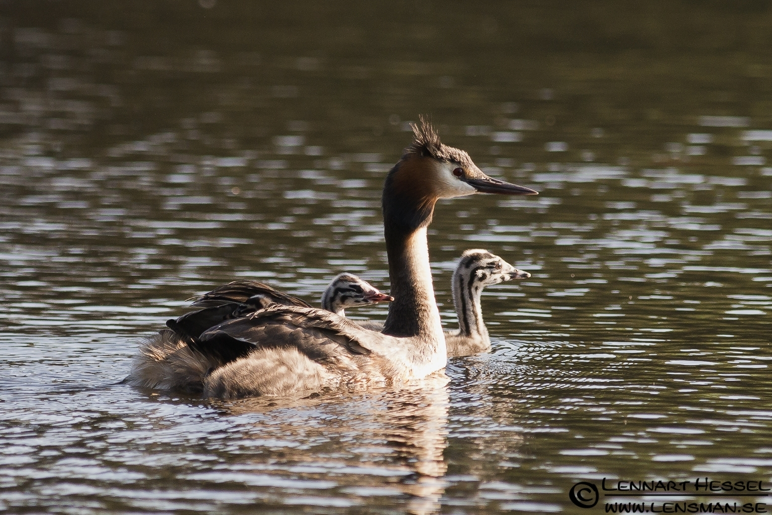 Great Crested Grebe in Rannebergen, Gothenburg
