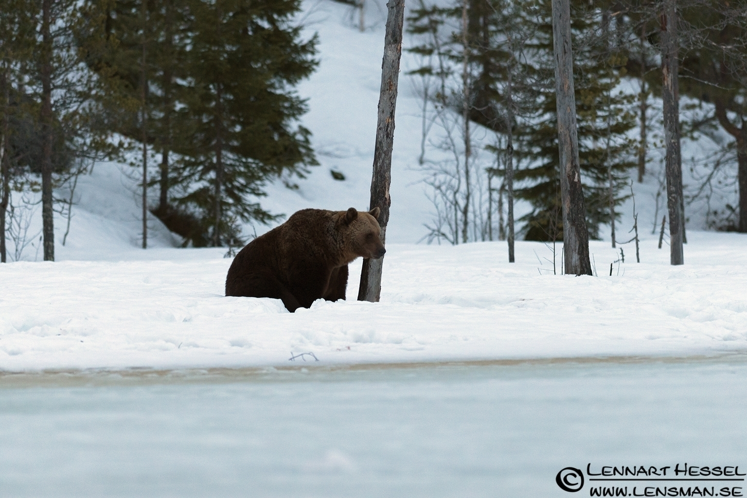 Brown Bear in Finland