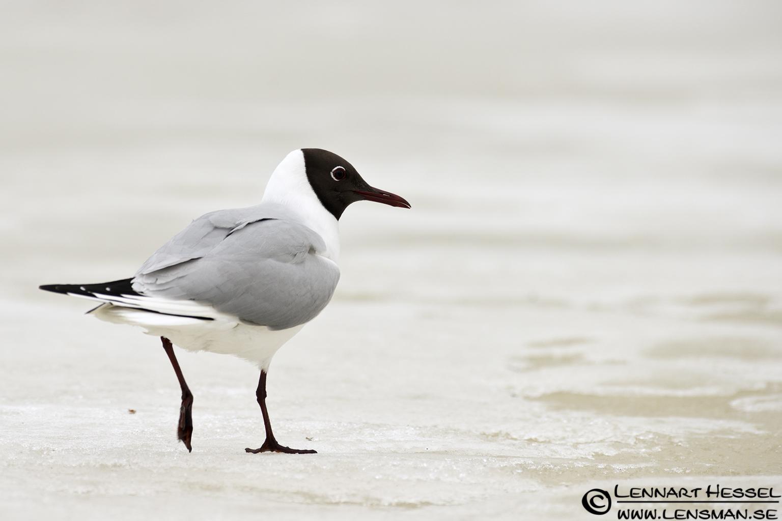 Black-headed Gull in Finland