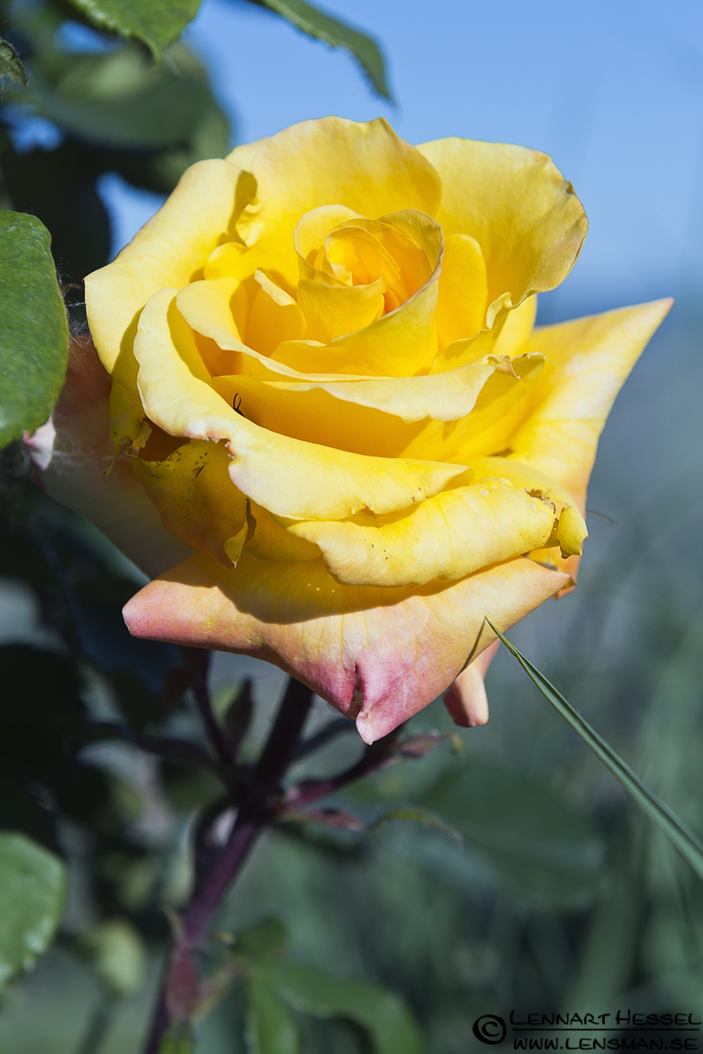 Yellow rose in Piedmont, Italy