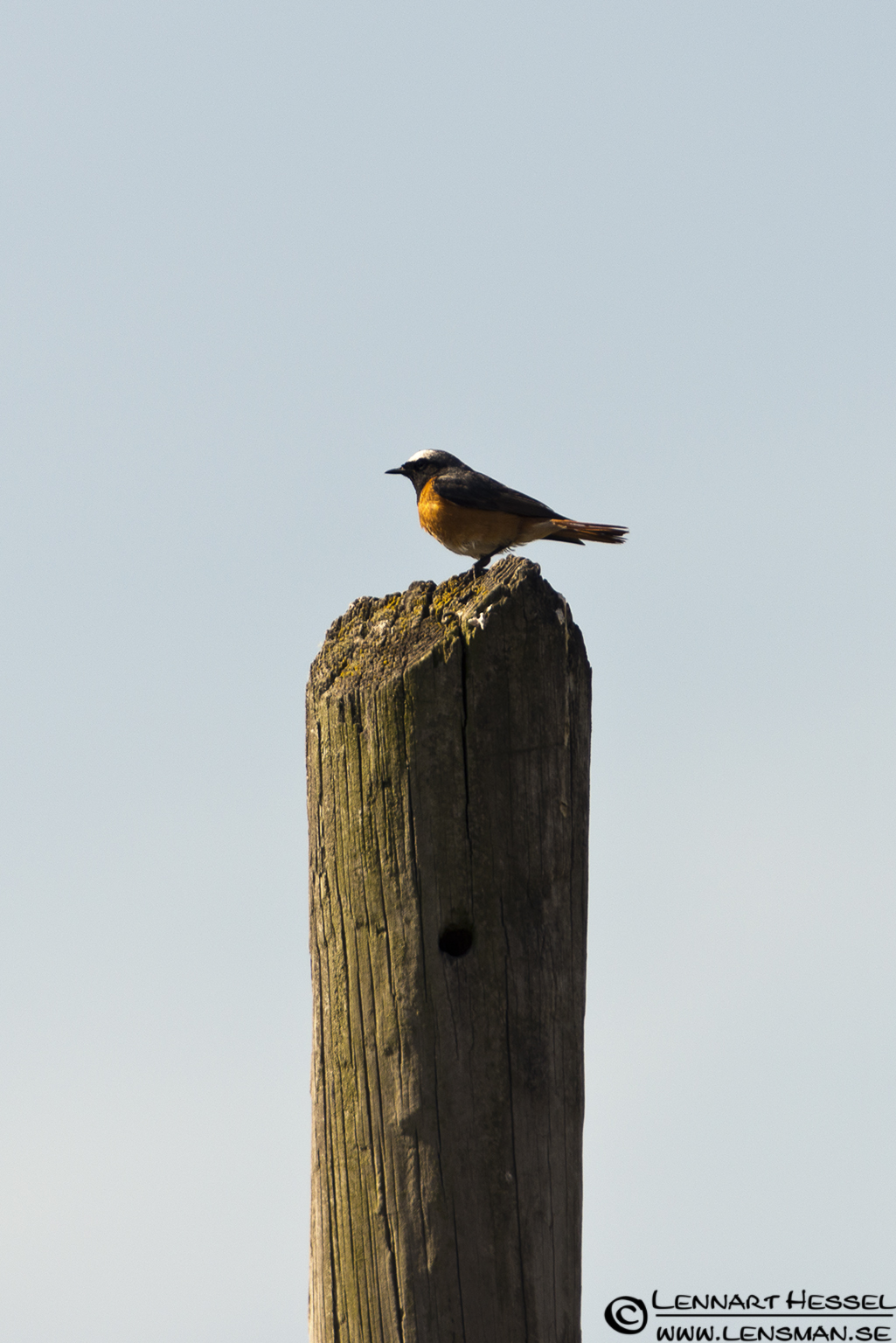 Common Redstart in Piedmont, Italy