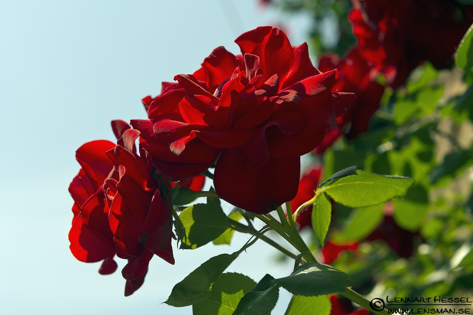 Red roses in Piedmont, Italy