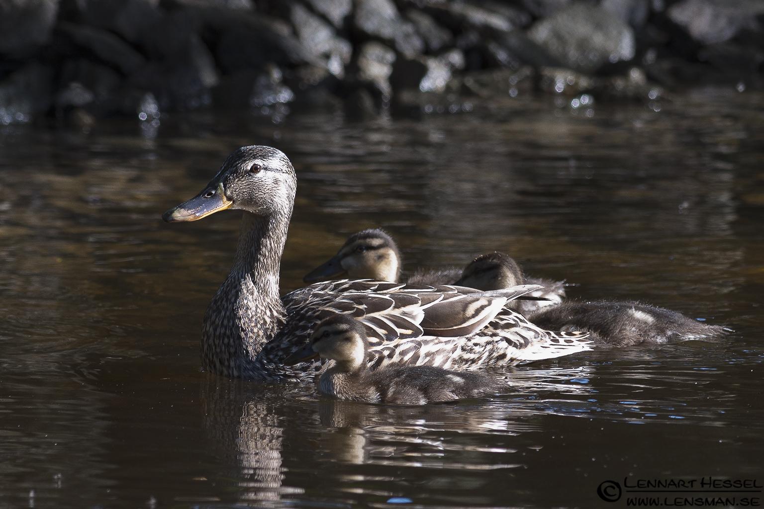 Mallard Duck at Säveån, Gothenburg