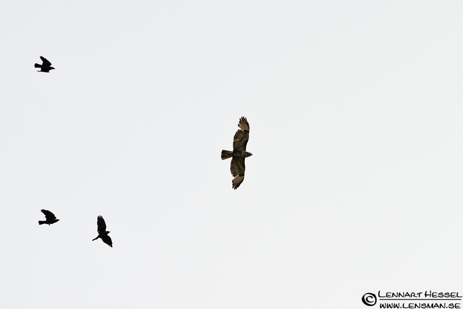 Common Buzzard at Hökällan, Gothenburg
