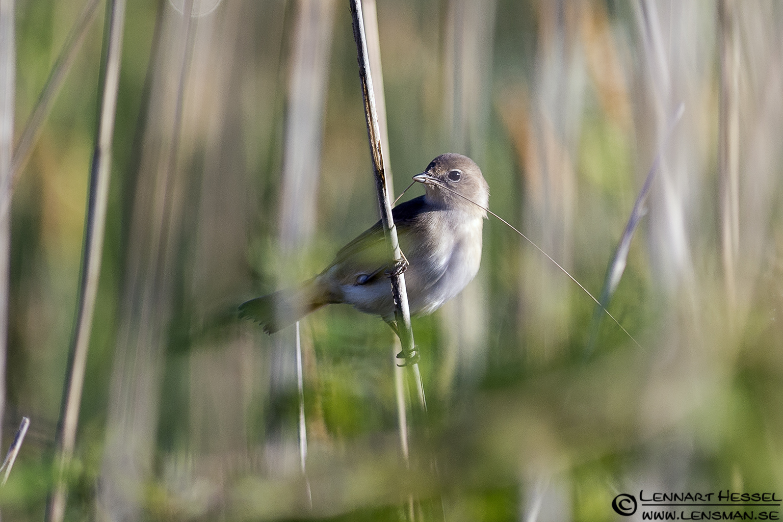 Common Whitethroat at Säveån, Gothenburg