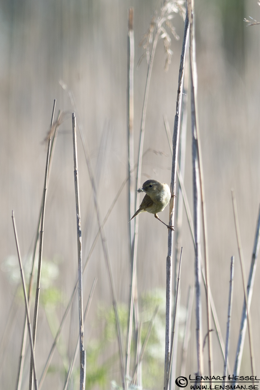 Willow Warbler at Säveån, Gothenburg