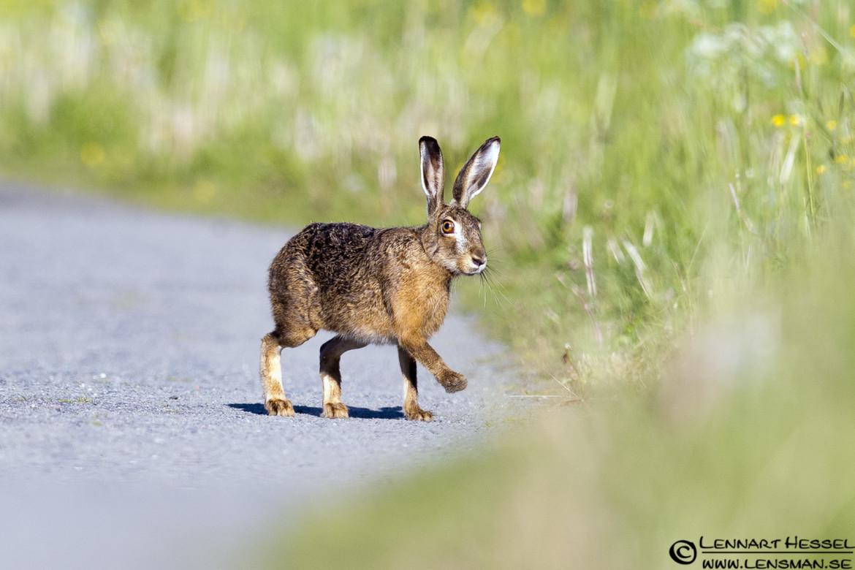 European Hare at Säveån, Gothenburg week