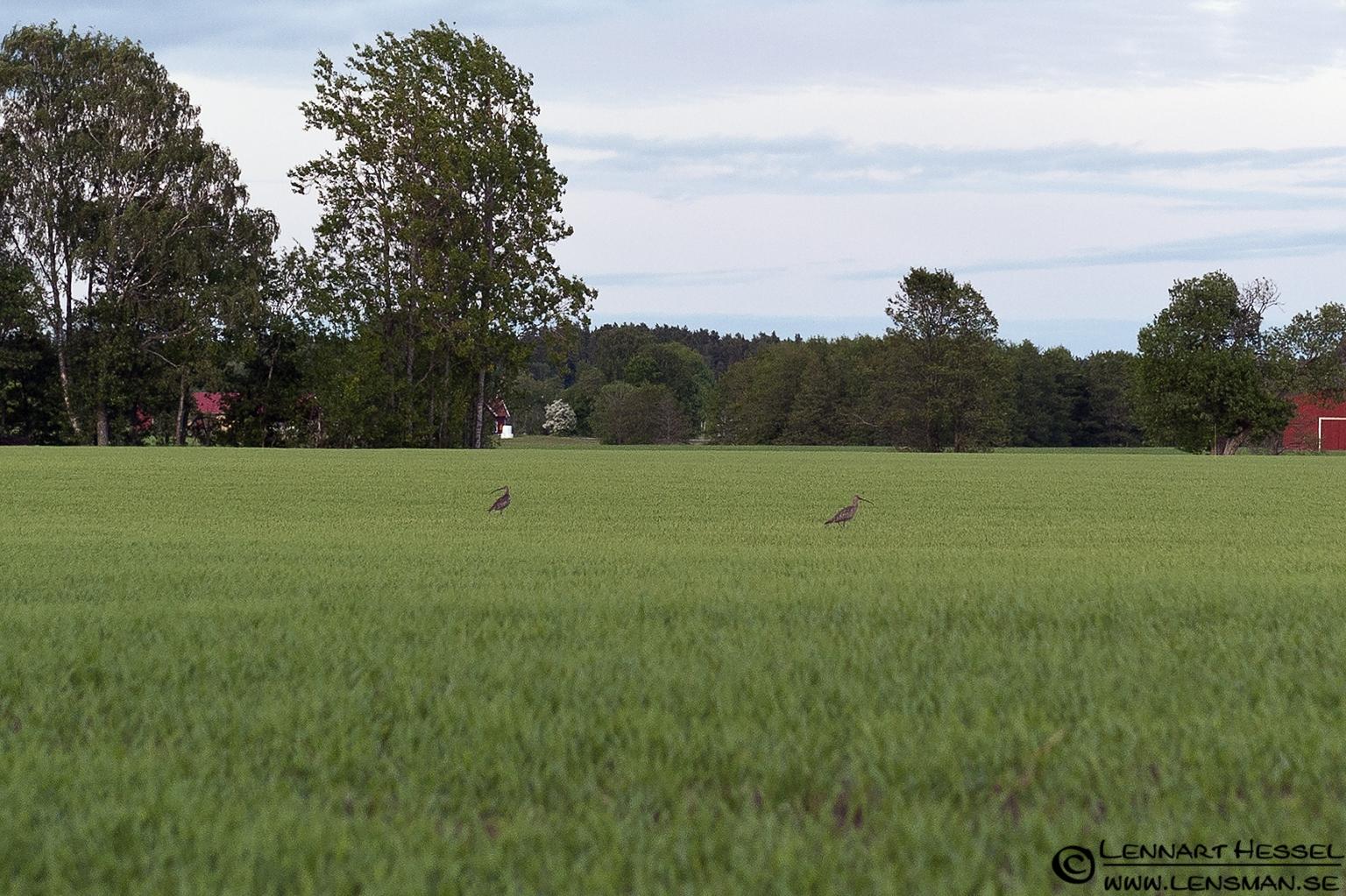 Eurasian Curlew at Nossebro