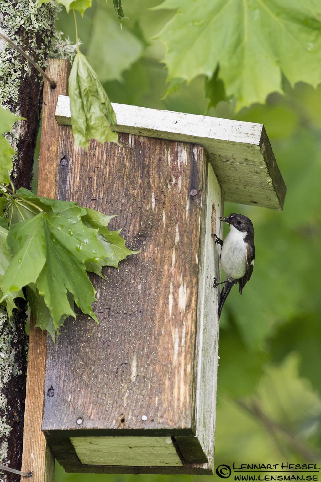 Pied Flycatcher at Nossebro