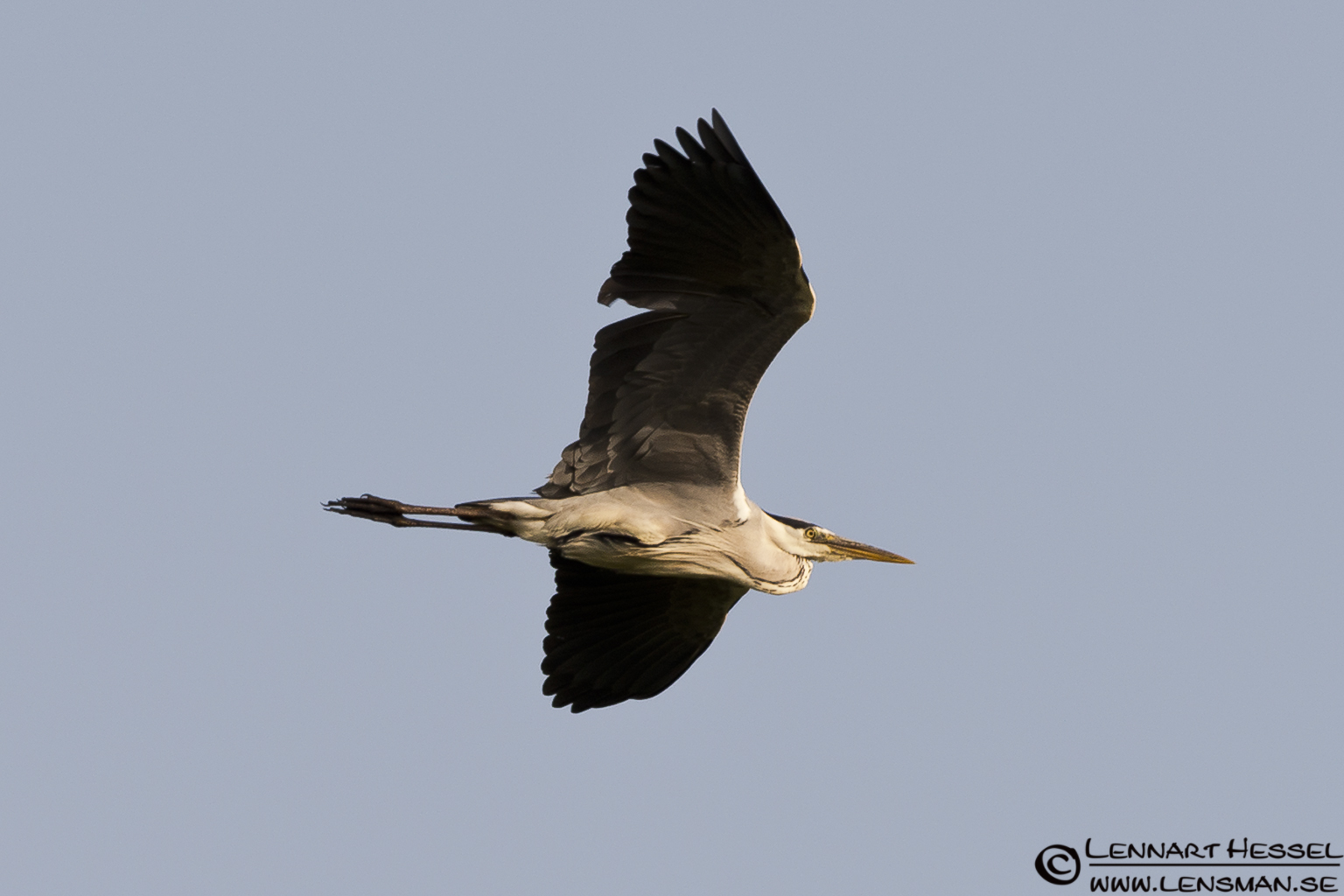 Grey Heron in Hungary