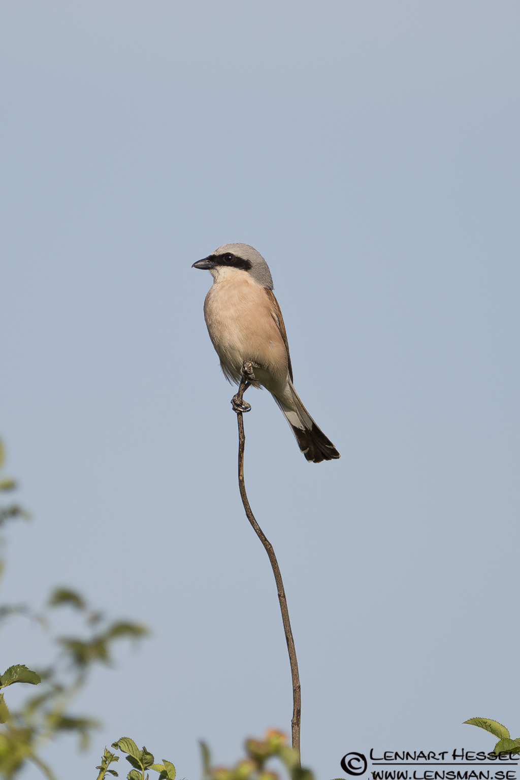Red-backed Shrike in Hungary