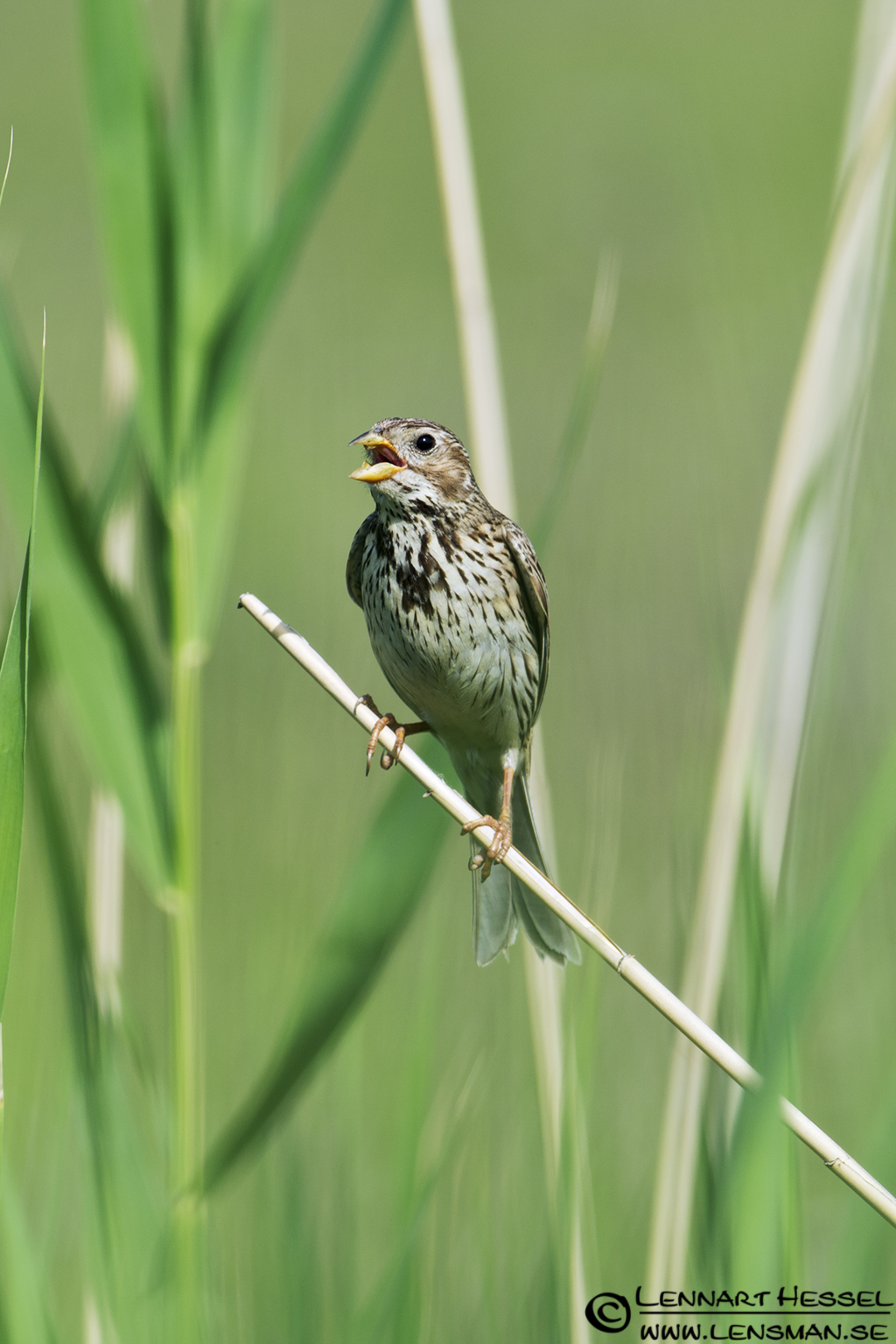 Corn Bunting in Hungary