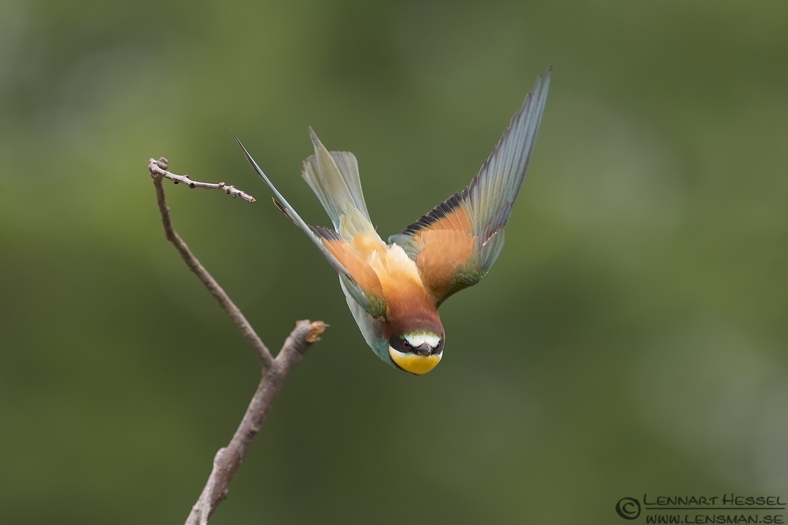 European Bee-eater in Hungary wild bird