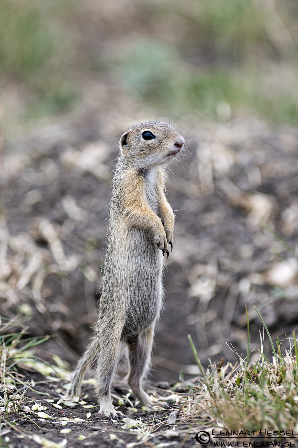 Ground squirrel in Hungary