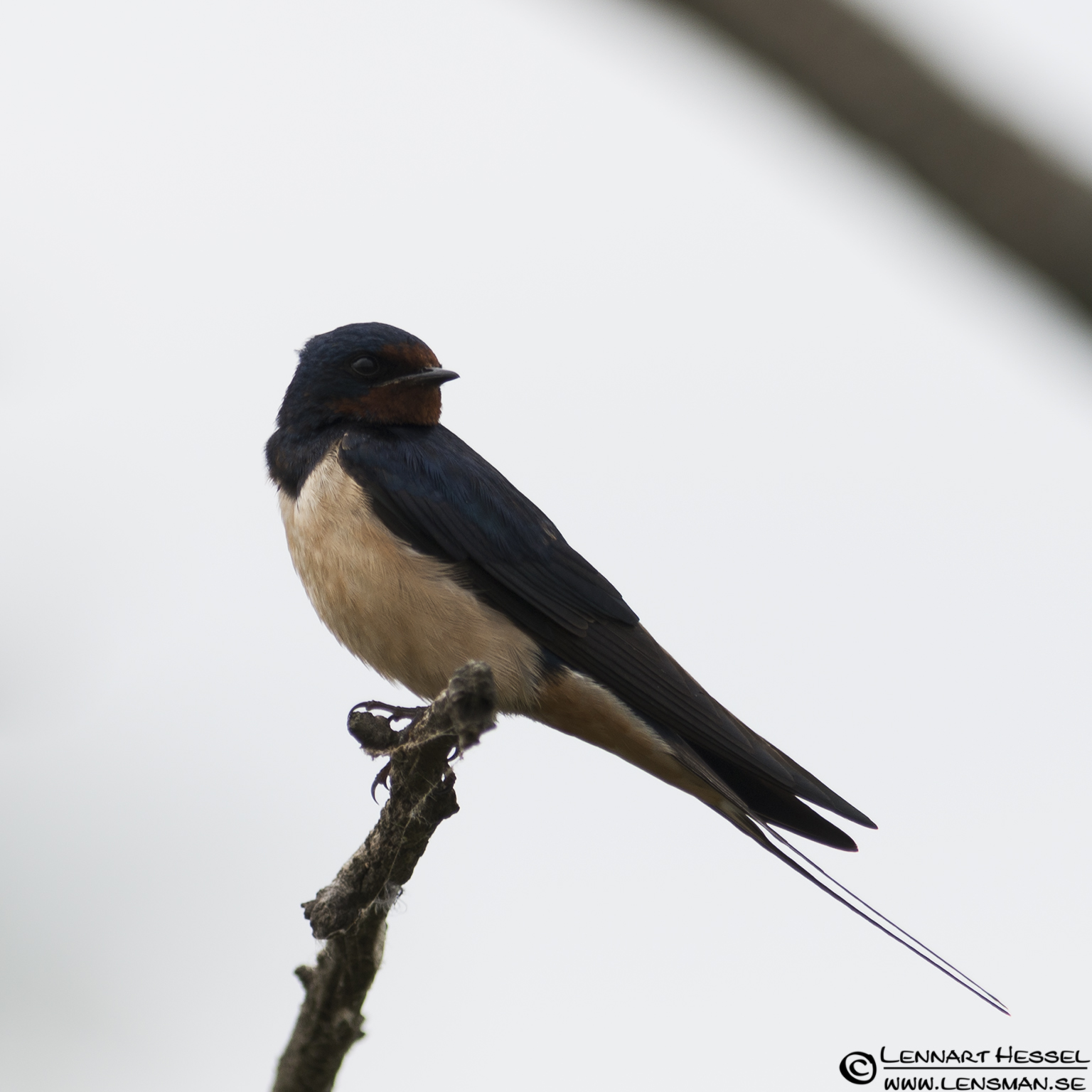 Barn Swallow in Hungary