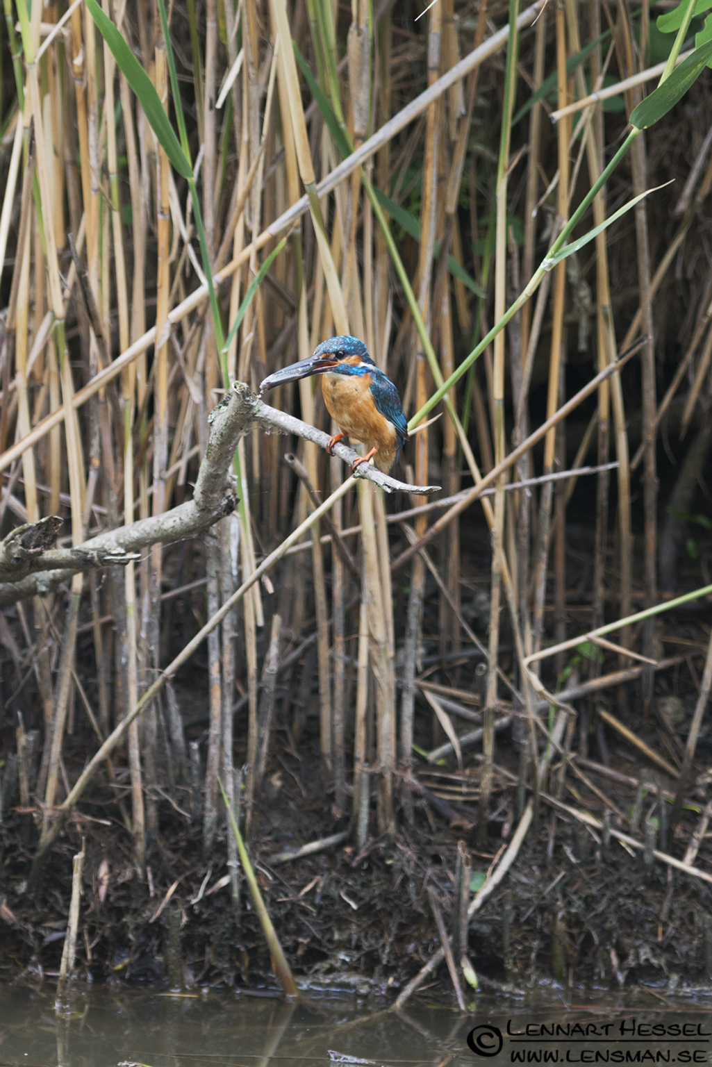 Common Kingfisher in Hungary, thunderstorm