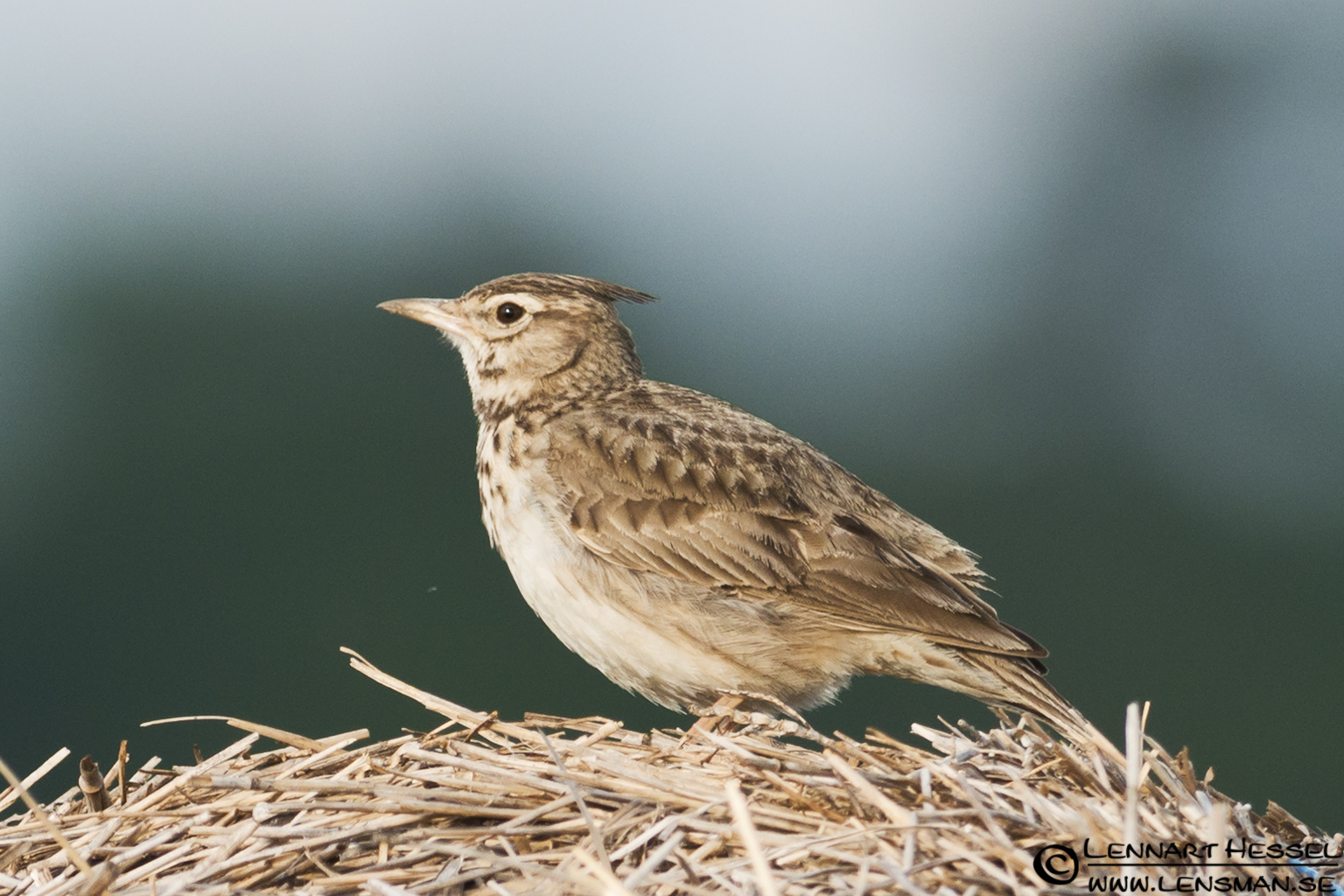 Crested Lark in Hungary