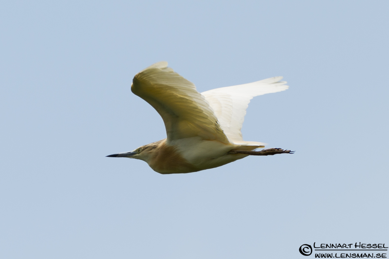 Squacco Heron in Hungary