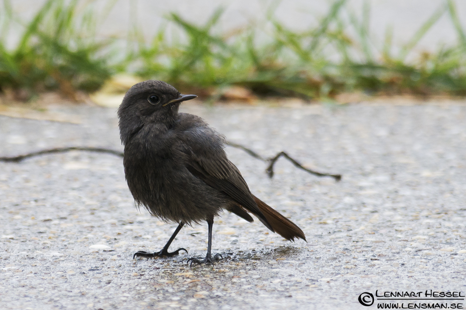 Black Redstart in Hungary