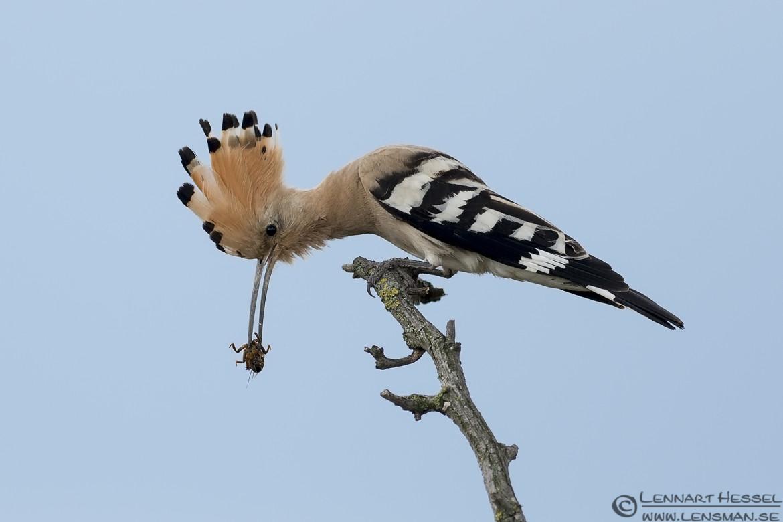 Hoopoe in Hungary wild bird