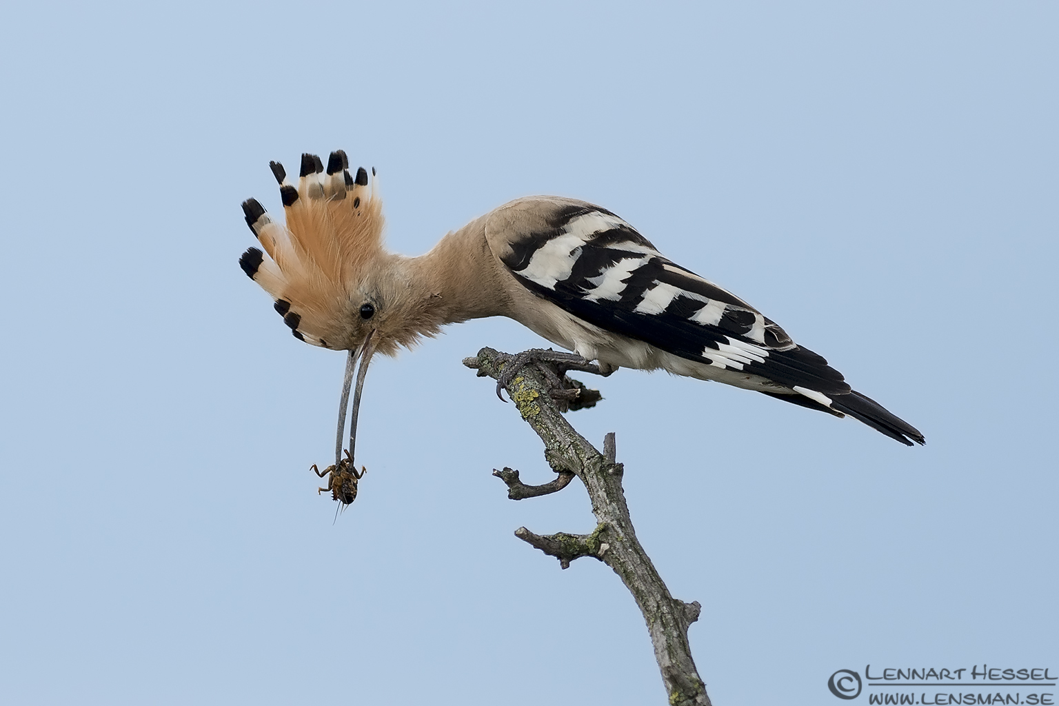 Hoopoe in Hungary wild bird