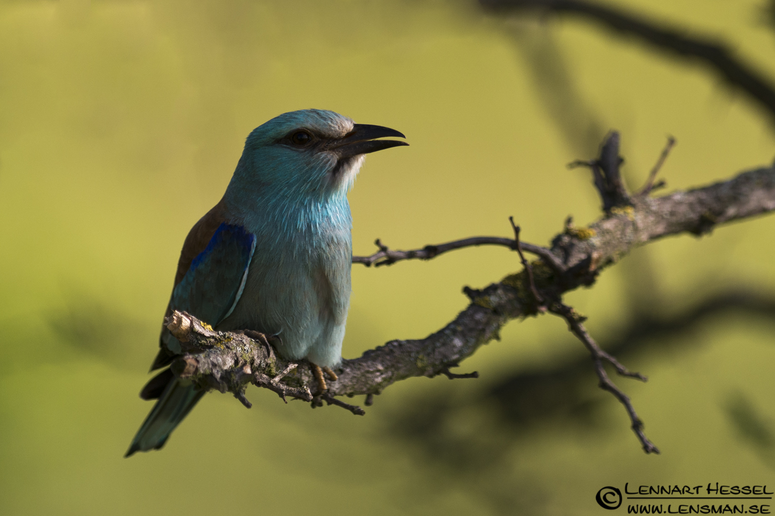 European Roller in Hungary
