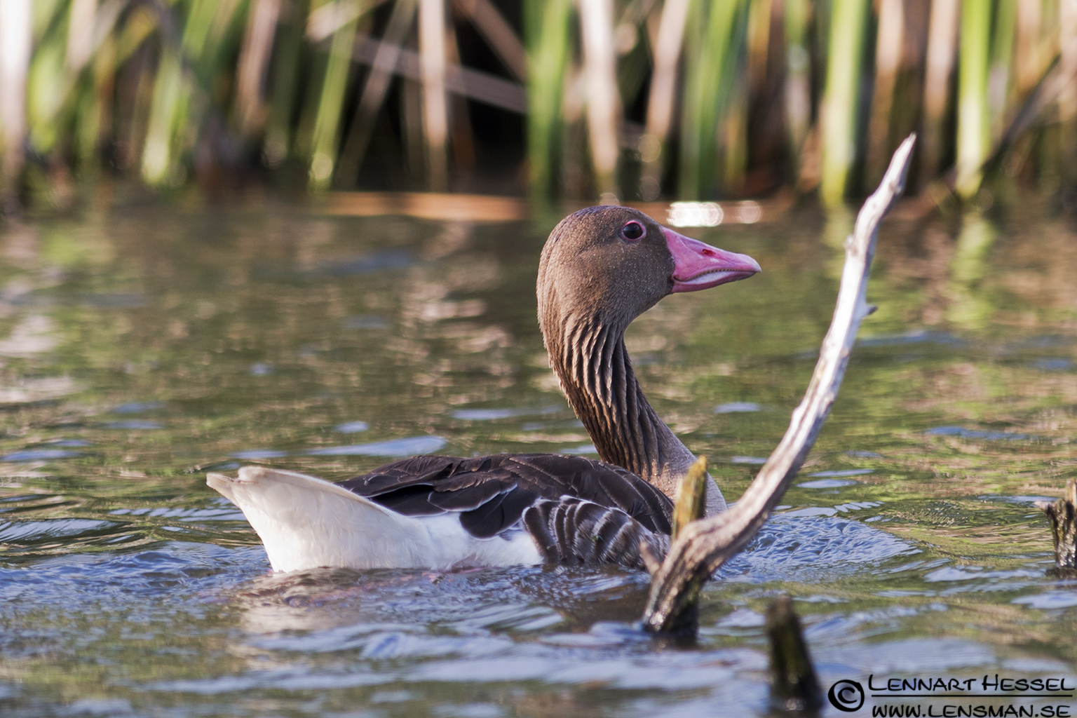 Greylag Goose in Hungary
