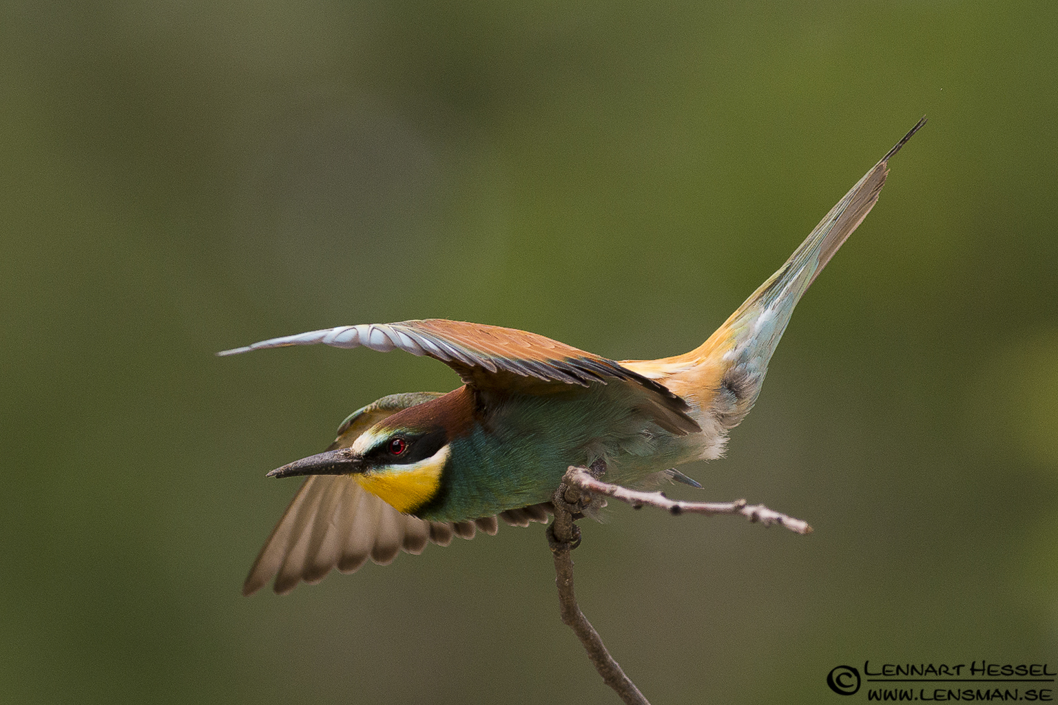 European Bee-eater balance act in Hungary