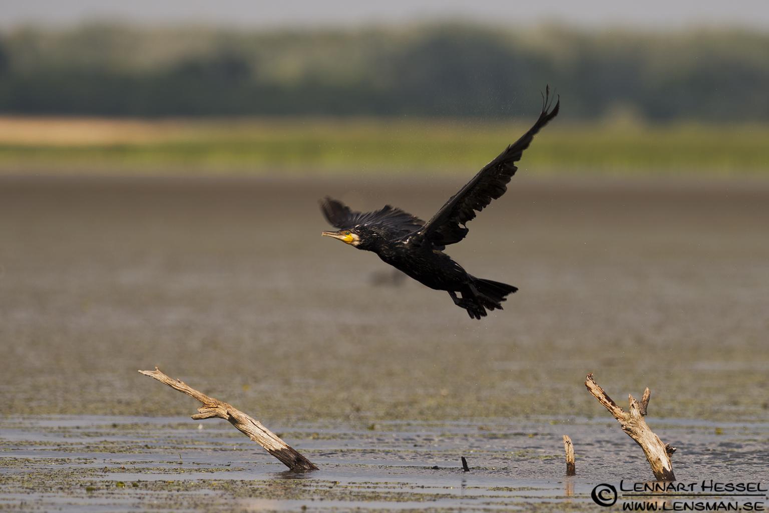 Great Cormorant at Lake Tisza, Hungary