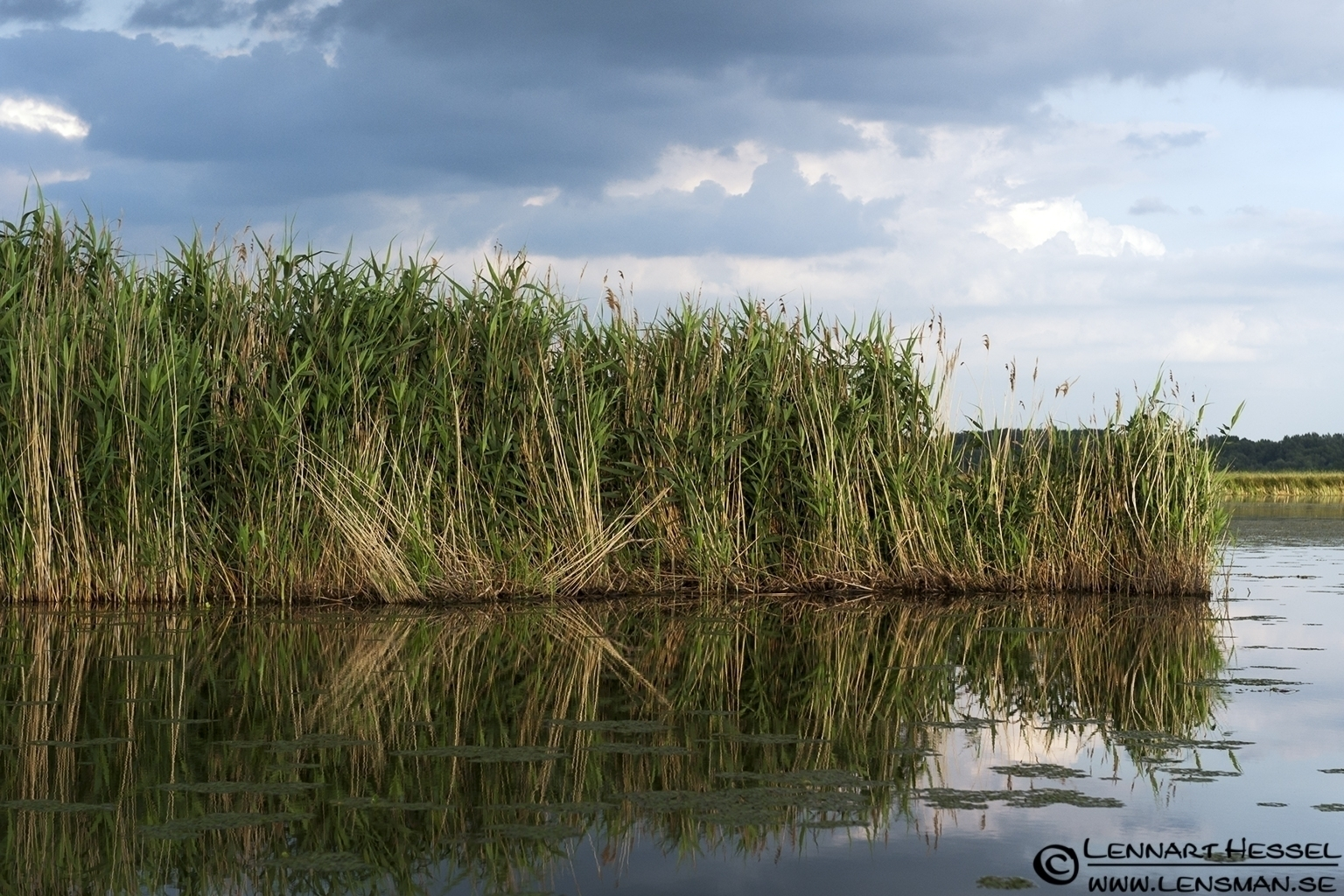 Reed bed in Lake Tisza, Hungary
